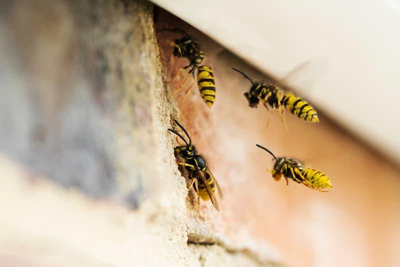 wespen fliegen in ein wespennest welches am haus entfernt werden soll
